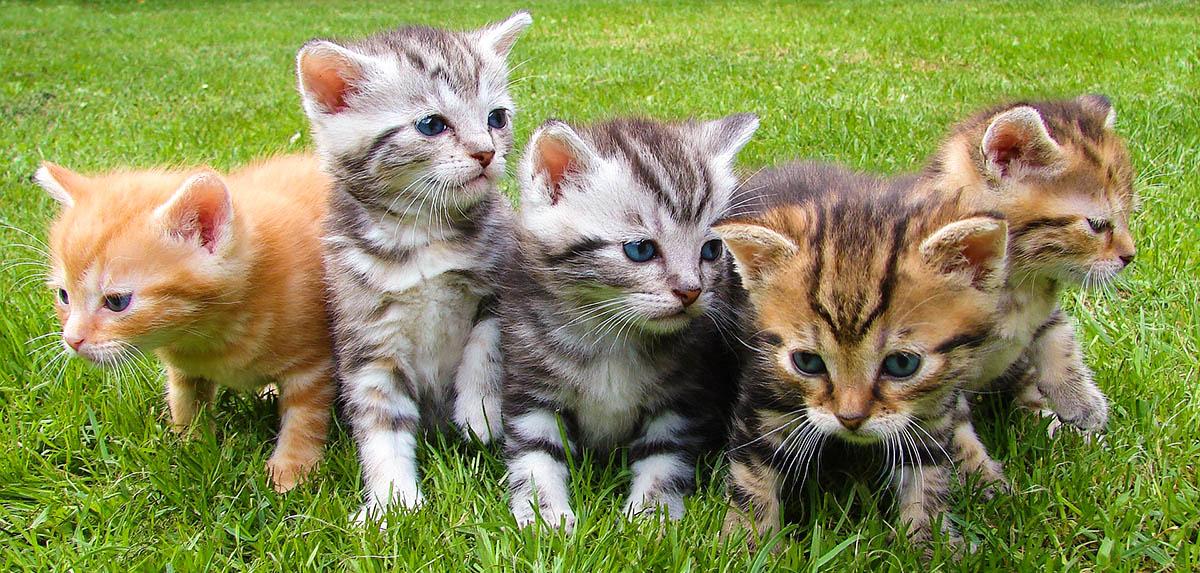 dosis curcuma gatos